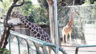 野毛山動物園キリン