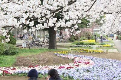 等々力緑地池前の桜