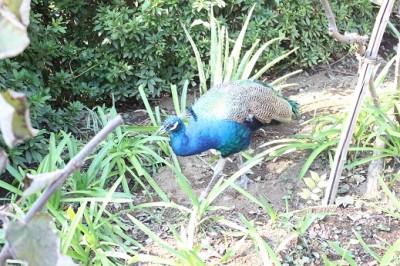 野毛山動物園孔雀