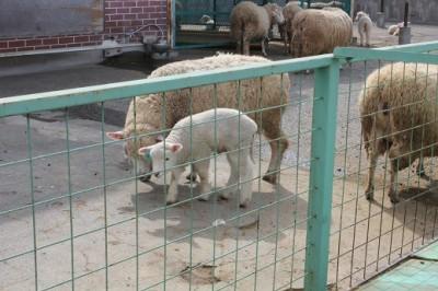 こどもの国の羊