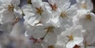 砧公園の桜の花びらのアップ