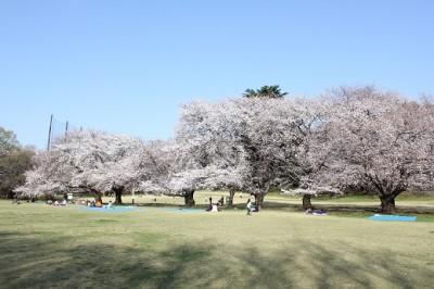 砧公園ファミリーパーク桜