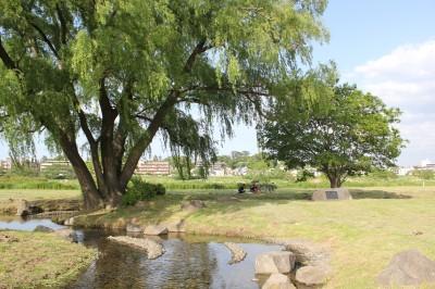 せせらぎ公園-大きな木