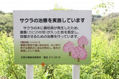 こども自然公園-桜治療