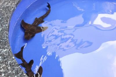 油壺マリンパーク-触れるサメ