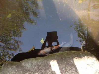 SLレストラン-池の鯉
