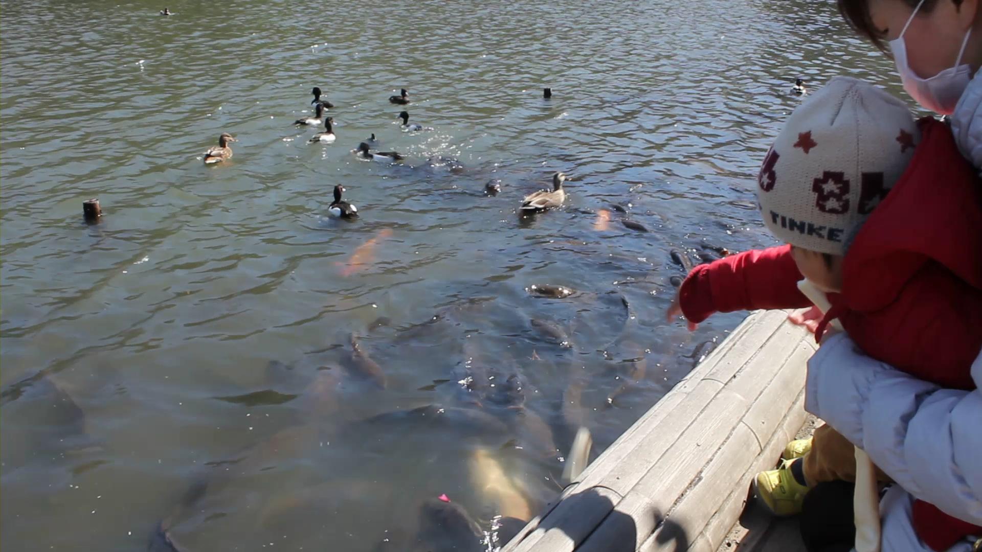 三溪園-鯉に餌あげ
