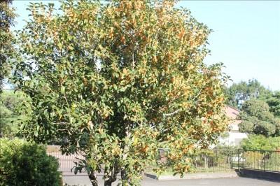 10月のキンモクセイの香り-岸根公園