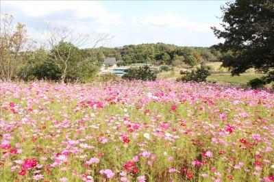 茅ヶ崎里山公園の綺麗なコスモス畑