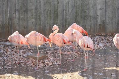 ピンクが鮮やかなフラミンゴ達