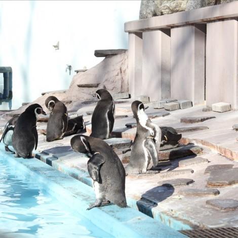 フンボルトペンギン達