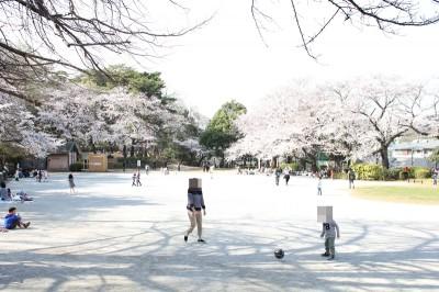 多摩川台公園のさくら