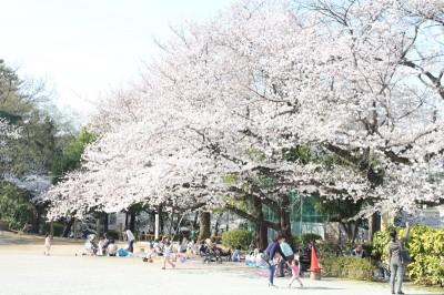 多摩川台公園のさくら並木