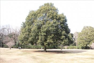 古代芝生広場の大きな木
