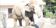 インドゾウ-金沢動物園