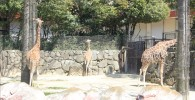 アミメキリン-金沢動物園