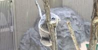 屋外のコアラ-金沢動物園
