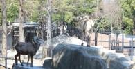 オオツノヒツジ-金沢動物園