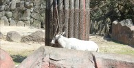 アラビアオリックス-金沢動物園
