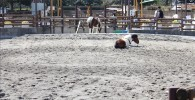 ポニー牧場-金沢動物園