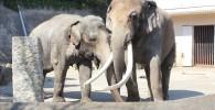 2匹のインドゾウ-金沢動物園