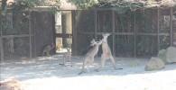 カンガルー-金沢動物園