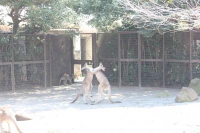 格闘するカンガルー