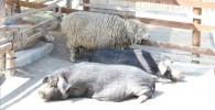 ミニブタとヒツジ-金沢動物園