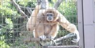 シロテナガザル-金沢動物園