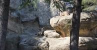 オオツノヒツジゾーン-金沢動物園