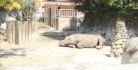 ヒガシクロサイ-金沢動物園