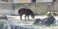 ベアードバク-金沢動物園