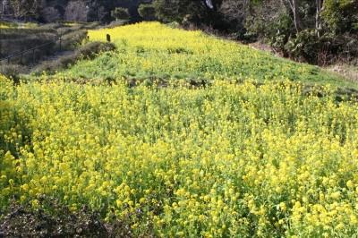 金沢自然公園のすばらしい菜の花畑