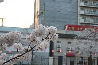 桜と京急電車の通過