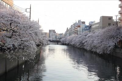満開!大岡川の桜並木