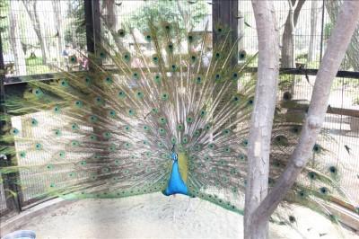 孔雀が翼を広げました