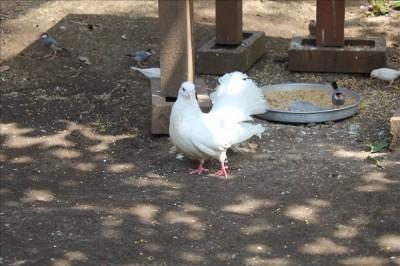 しっぽの形がめずらしい白い鳥