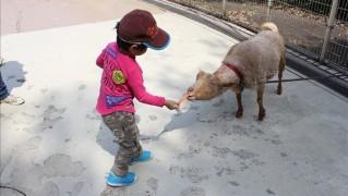 ヤギに餌あげする3歳児
