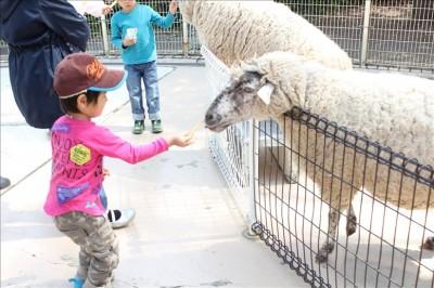 羊に餌あげする3歳児