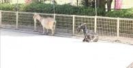 動物ふれあい広場のヤギ