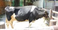 家畜コーナーの牛