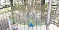 孔雀が大きく羽を広げている写真(正面)