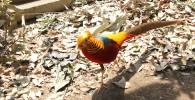 金色と赤と青の綺麗な羽のキンケイ