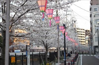 桜並木とちょうちん