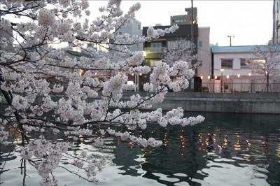 超綺麗!夕暮れの大岡川と桜