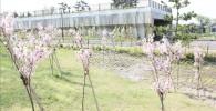 植えられたばかりの幼い桜の木(遅咲きの桜)