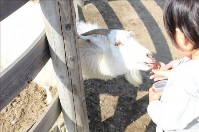 ヤギに餌あげ体験をする3歳児