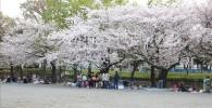 催し物広場の桜の花見の様子