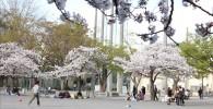 催し物広場の桜と花見客