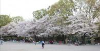 催し物広場の桜並木